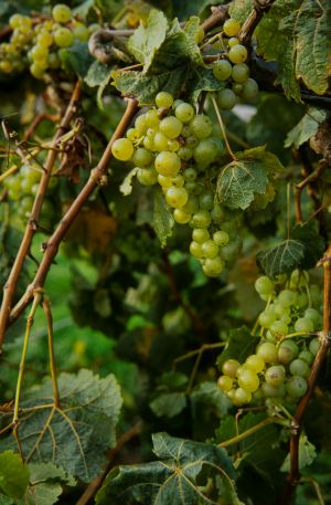 Wickham Vineyard crop